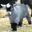 Baby Nigerian goat